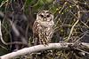 535 Barred Owl