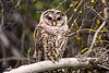 1671 Barred Owl