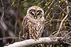 1660 Barred Owl