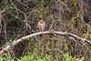 1679 Barred Owl