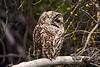 1646 Barred Owl