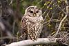 1654 Barred Owl