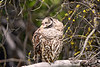 1651 Barred Owl