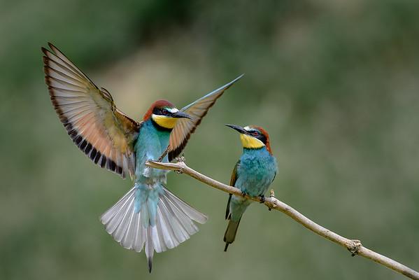 bee-eaters pair