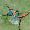 Bee-eaters pair