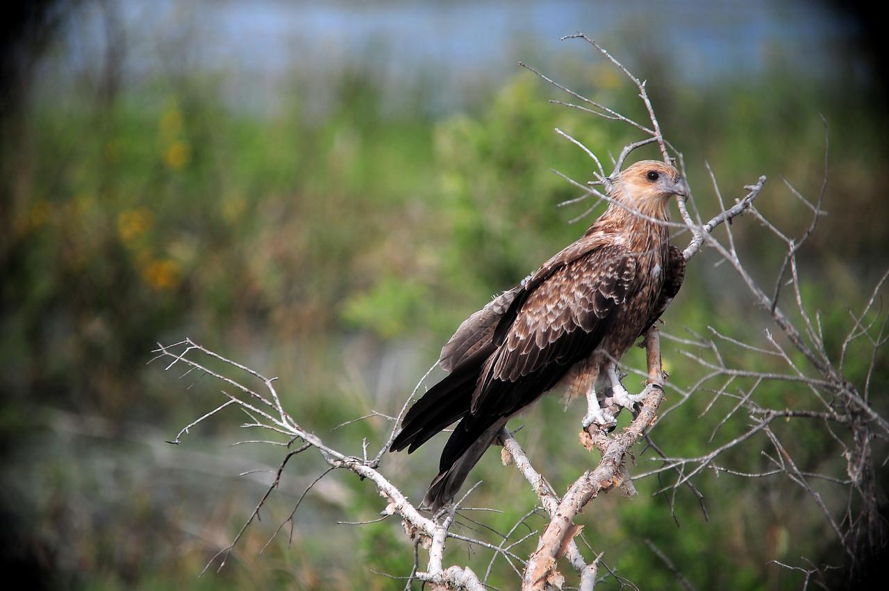 Haliastur sphenurus, Whistling Kite. Fogg Dam Conservation Reserve, NT, Australia. April 2015