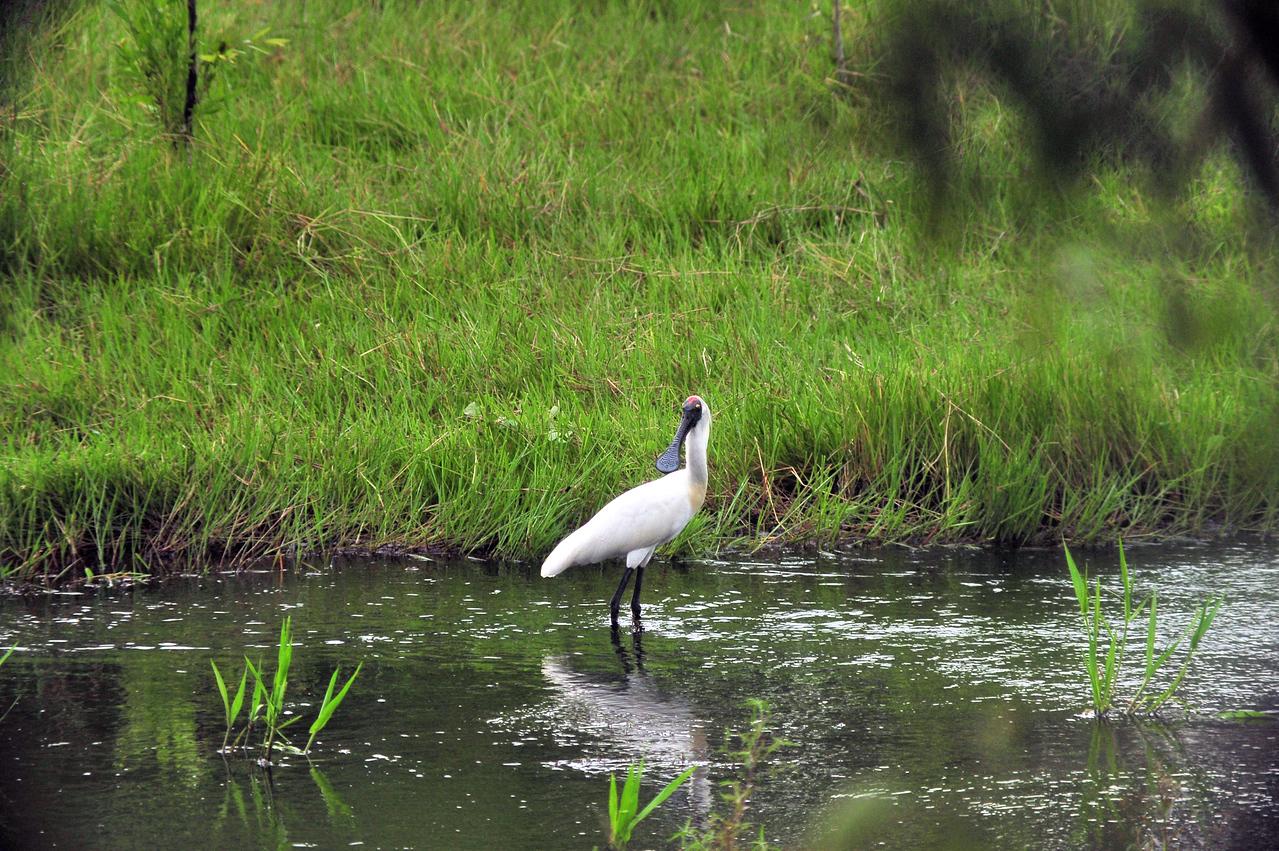 Platalea regia, Royal Spoonbill. Fogg Dam Conservation Reserve, NT, Australia. April 2015