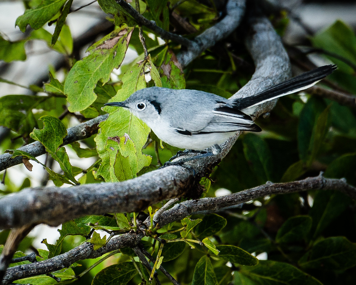 Cuban Gnatcatcher