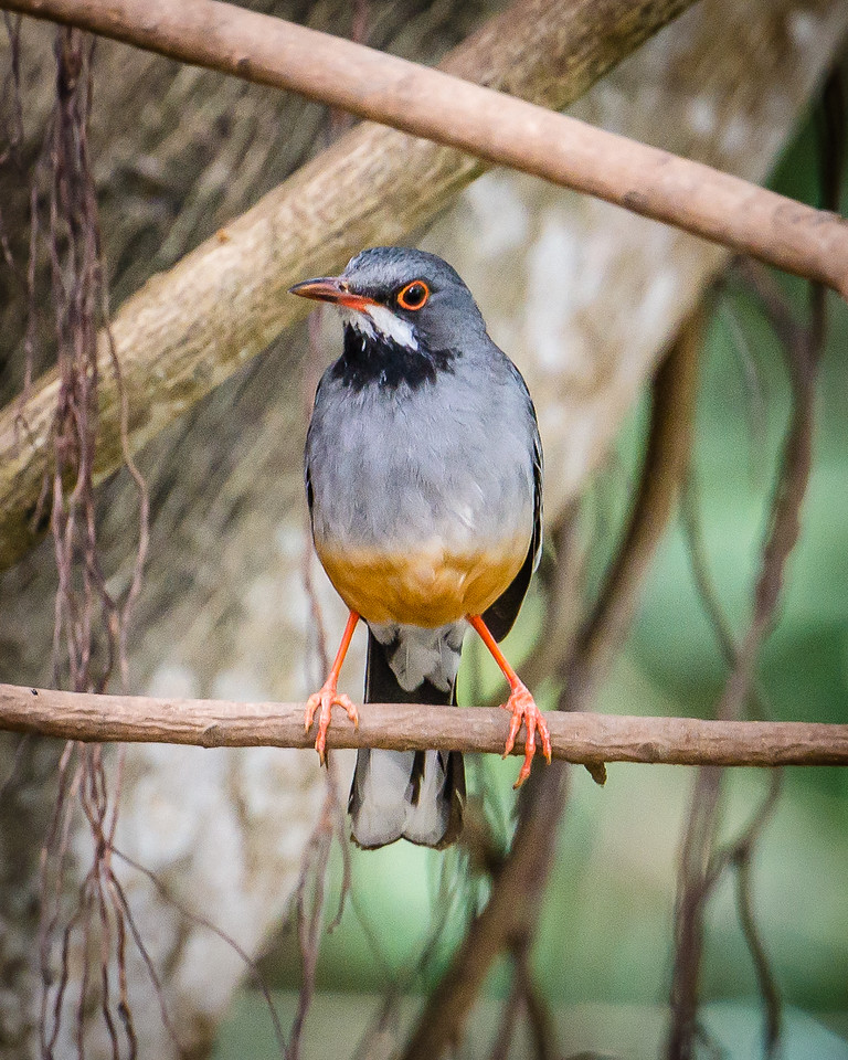 Red-legged Thrush