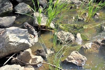 Gallinula tenebrosa, Dusky Moorhen. River Sturt, Adelaide, SA, Australia. October 2010