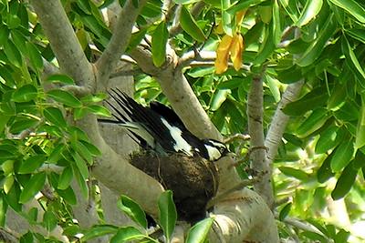 Grallina cyanoleuca, Magpie lark. Nightcliff, Darwin,  NT, Australia. March 2009