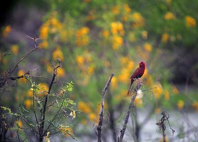 Neochmia phaeton, Crimson Finch. Fogg Dam Conservation Reserve, NT, Australia. April 2015