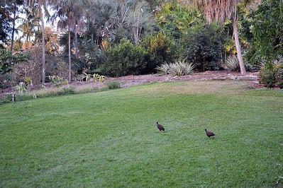 Megapodius reinwardt, Orange-footed scrub fowl. Darwin Botanic Gardens, NT, Australia. August 2015