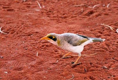 Manorina melanocephala. Uluru, NT, Australia. December 2006
