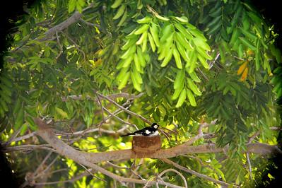 Grallina cyanoleuca, Magpie lark. Nightcliff, Darwin,  NT, Australia. December 2010