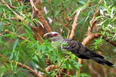 Scythrops novaehollandiae, Channel-billed Cuckoo. Territory Wildlife Park, NT, Australia. August 2007