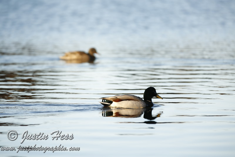 Duck Reflections.