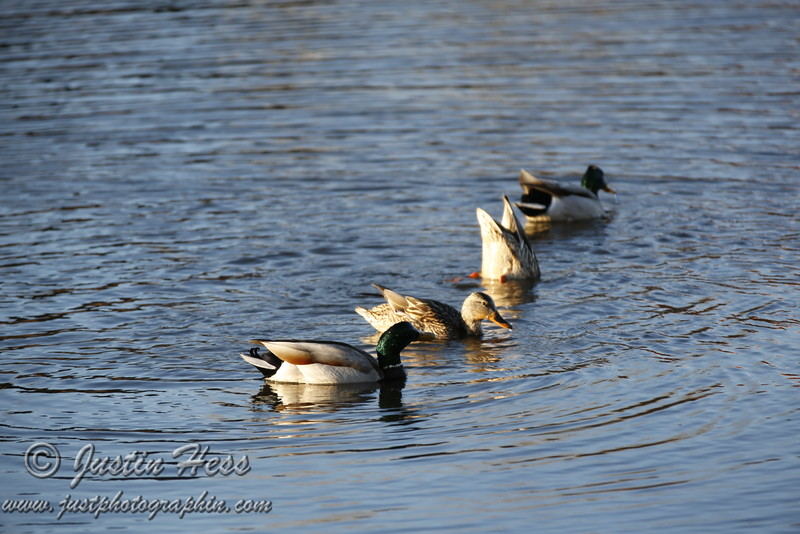 Two pairs of ducks; the first male in line looks like he is shaking water out of his ear!