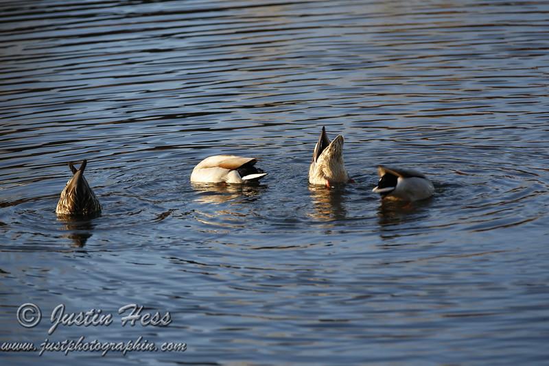 Two pairs of ducks, all feeding.