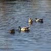 Two pairs of ducks, ladies feeding.