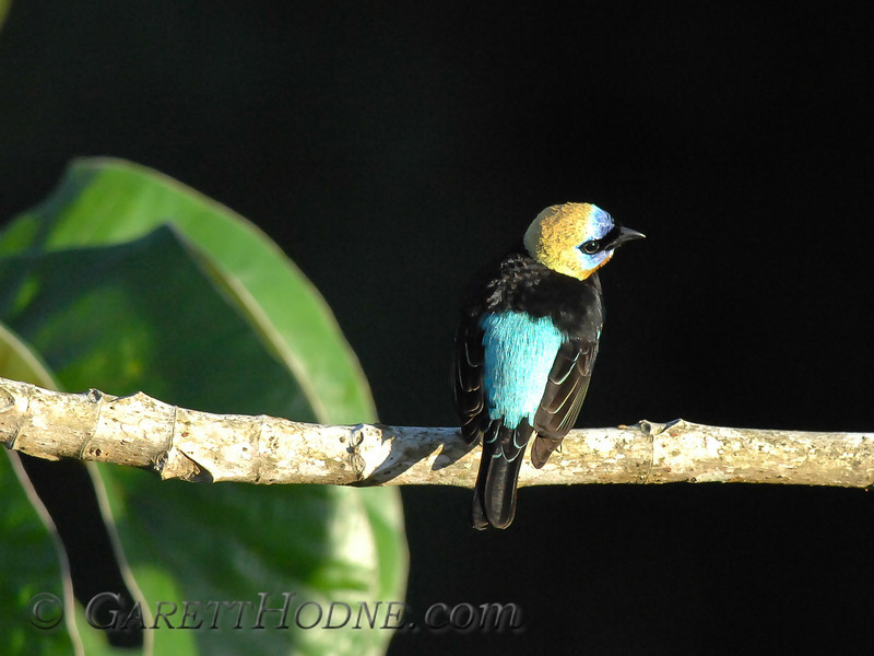 Golden-hooded Tanager (Tangara larvata)