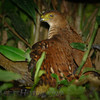 Tiny Hawk (Accipiter superciliosus)