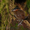 Black-crowned Antpitta (Pittasoma michleri)