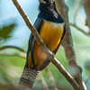 Gartered Trogon (Trogon caligatus)