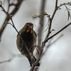 Yellow-faced Grassquit (Tiaris olivaceus)