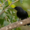Black Catbird (Melanoptila glabrirostris)
