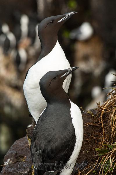 Thick-billed Murre (Uria lomvia)<br /> St Paul Island the Pribilofs