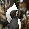 Thick-billed Murre (Uria lomvia)<br /> St Paul Island the Pribilofs