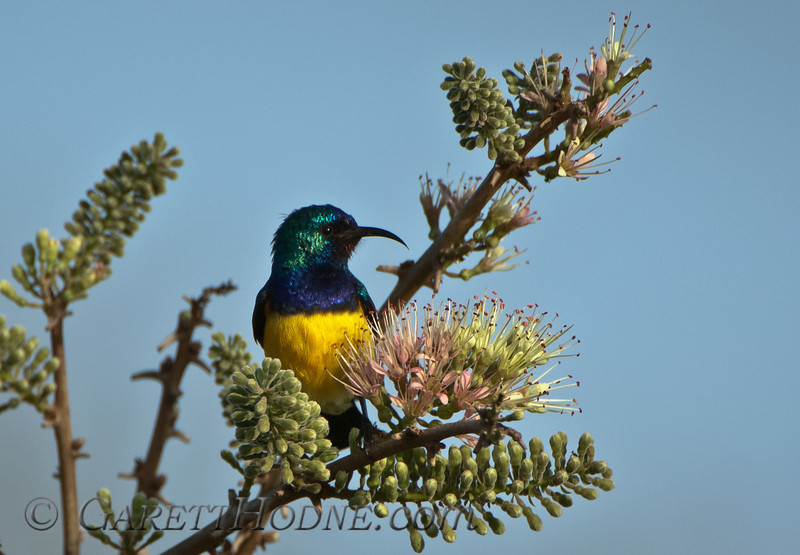 Variable Sunbird (Cinnyris venustus)