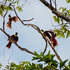 Red Bird-of-paradise (Paradisaea rubra)