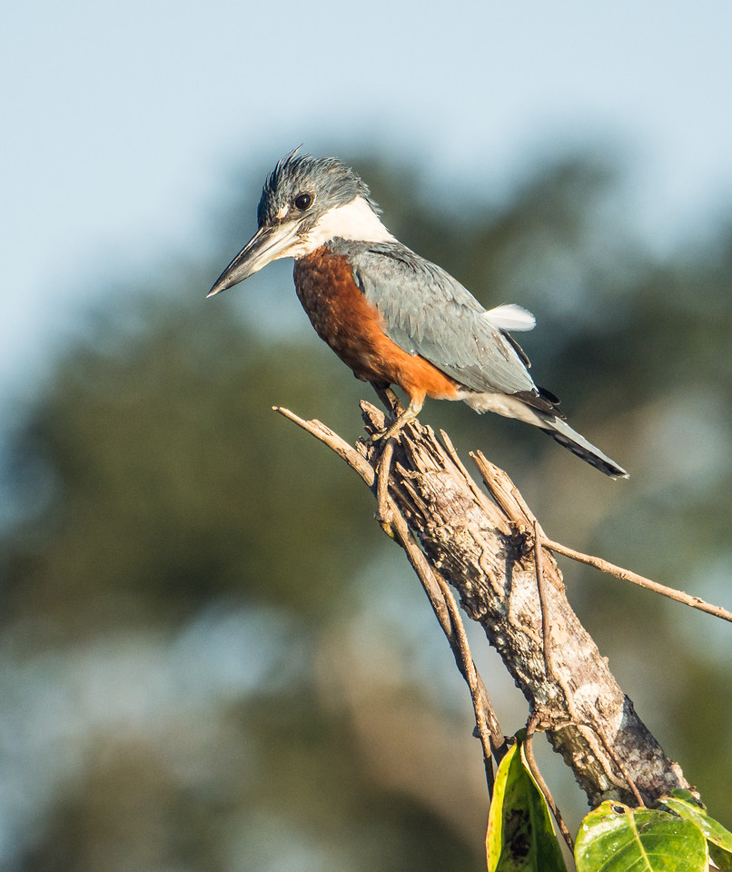 Male Ringed Kingfisher