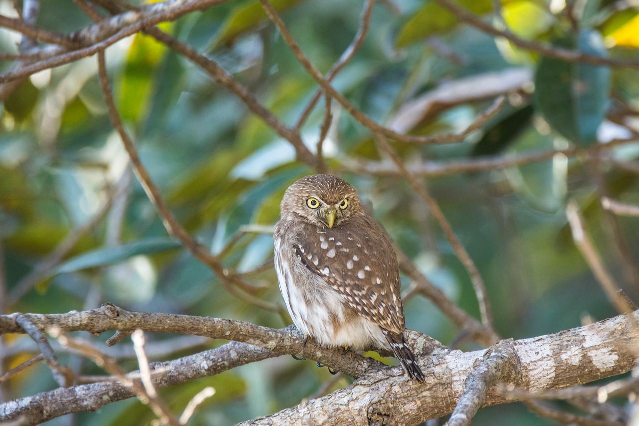 Ferruginous-Pygmy Owl