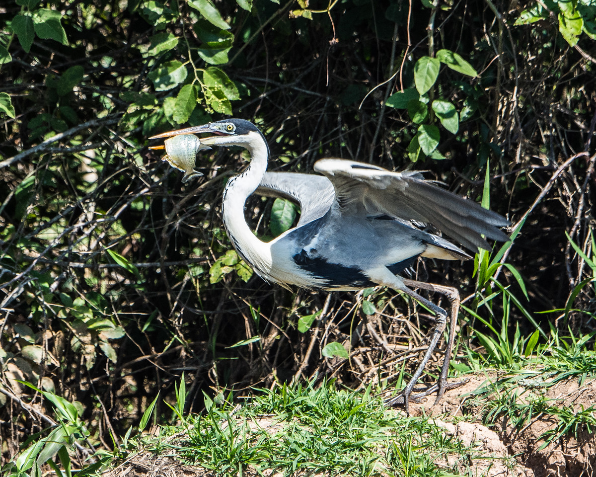 Cocoi Heron with Fish