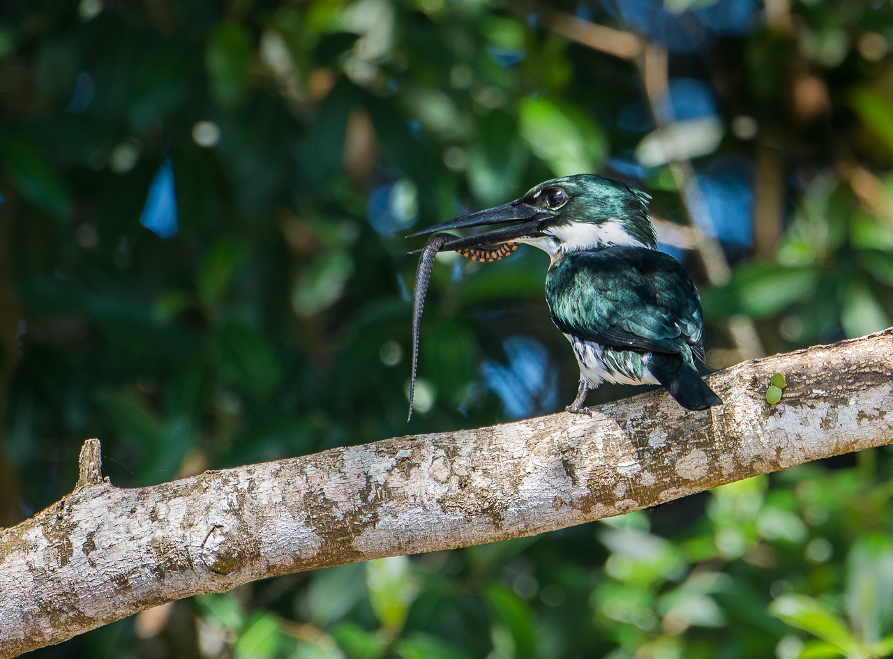 Amazon Kingfisher with Leopard Water Snake