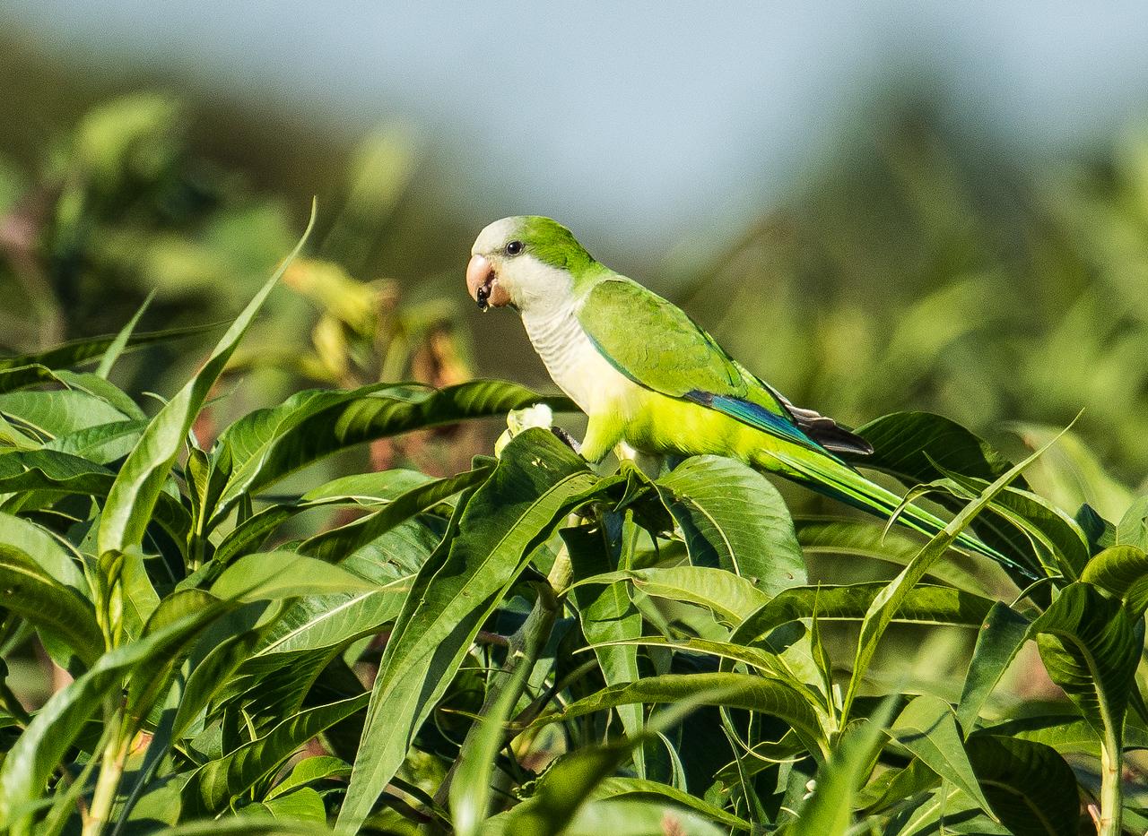 Monk Parakeets