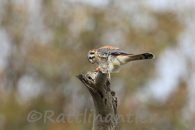 American Kestrel with Prey