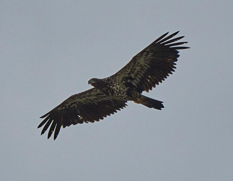 Newly fledged juvenile bald eagle