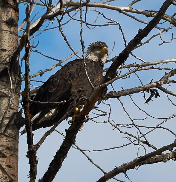 A young bald eagle