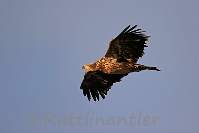 Bald Eagle - Juvenile