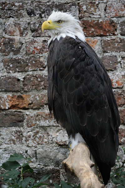 Captive Bald Eagle at Lowther in Cubria