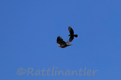 Bald Eagle vs. American Crow