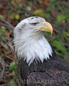 Bald Eagle missing an Eye
