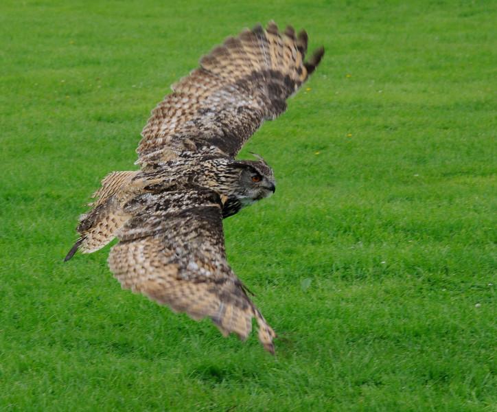 Eurasian Eagle Owl  (Bubo bubo)