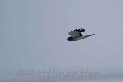 Northern Harrier ♂