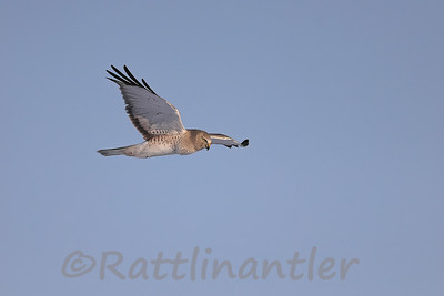 Northern Harrier ♂