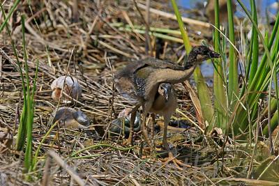 Purple Gallinule - juveniles
